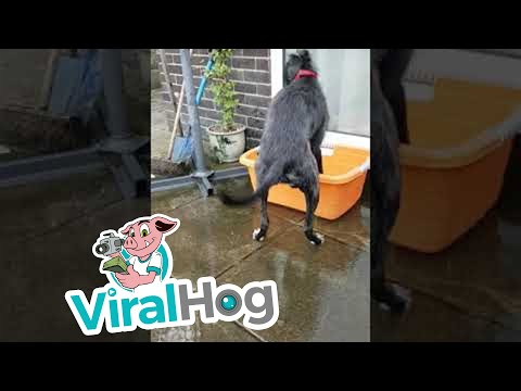 Lurcher Pup Loves Leaping on Trampoline || ViralHog