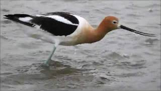 American Avocets (Recurvirostra americana), Bowdoin National Wildlife Refuge, Northeast Montana