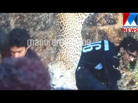 Three injured in leopard attack in Kannur  | Manorama News