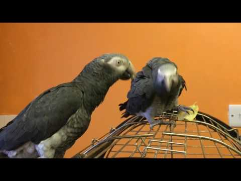 African grey parrots kissing
