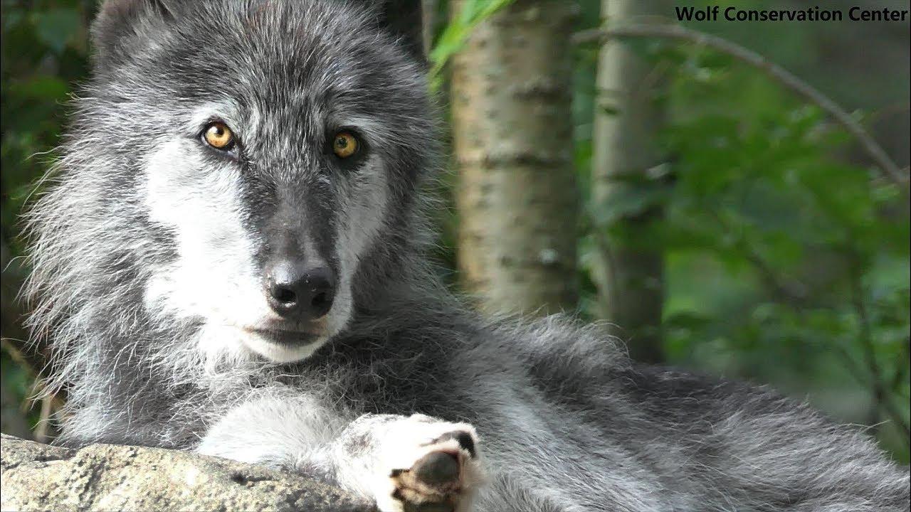 Beautiful Black Wolf Howls