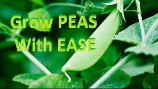 How to Grow Delicious Organic Peas - Complete Growing Guide