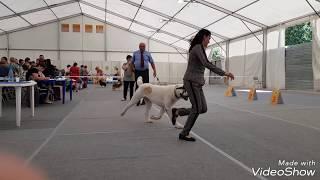 For sale продажа Тимерташ Тимерхан Могучий - 14 июля 2018 Выставка собак ранга САС1В г. Тюмень