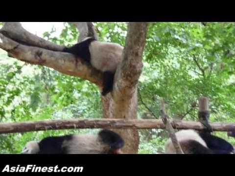 Cute Giant Pandas pooping and sleeping In China Panda Base