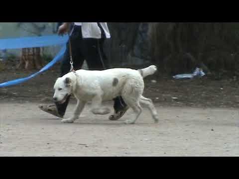 среднеазиатская овчарка бэби кобель 03.05.2009
