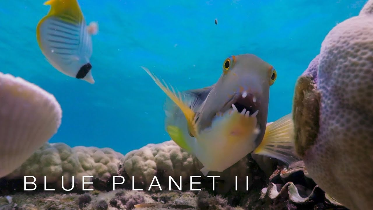 The fish that uses tools - Blue Planet II: Episode 1 Preview - BBC One