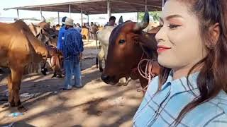 ราคาวัววันนี้(8 กค.63)วัวบราห์มันลูกกระทบ ราคาเบียดเลือดร้อย ตลาดบ้านหัน มหาสารคาม