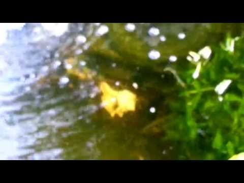 Pond fish doing the spring mating dance-May 10,2013