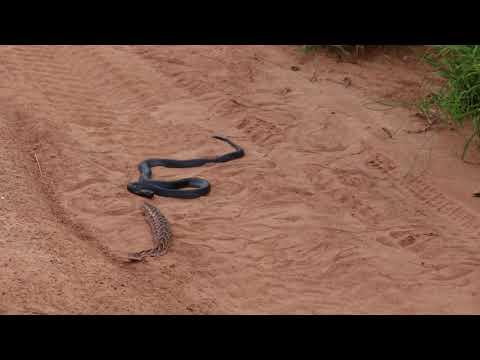 Black-Necked Spitting Cobra