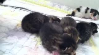 Newborn kittens cry when mom is away