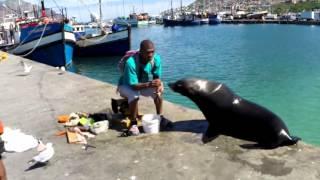 Морской котик на пристани / Seal, Hout bay, South Africa