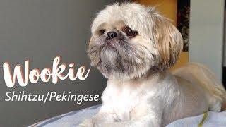 Wookie The Shih Tzu Pekingese Mix