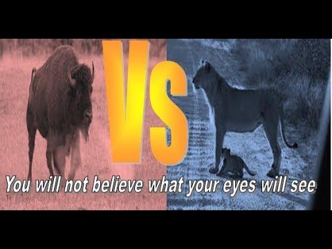 Buffalo raises a lion 3 meters in the air 😲 😵  😱 😱 😱 😱