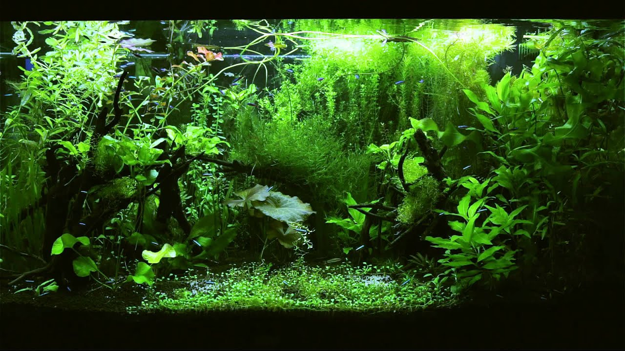 Hi Def 3d Wallpaper Hd Tv Aquarium Tetra Fish Planted Jungle Fish Tank Youtube