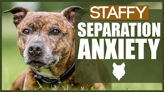 STAFFORDSHIRE BULL TERRIER Separation Anxiety