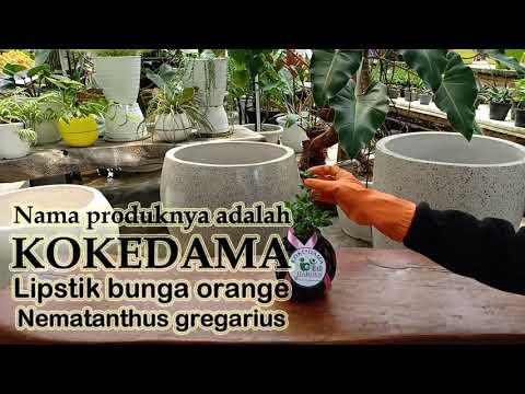produk-kokedama-tanaman-hias-gantung-lipstik-bunga-orange-(nematanthus-gregarius)