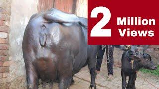 एक ज़मींदार के घर 20 किलोग्राम दूध देने वाली मूर्राह भेंस। गाँव - सोरख़ी,ज़िला - हिसार(हरियाणा)