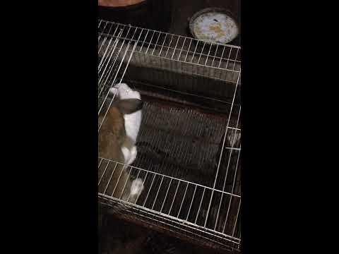 Hướng dẫn cách phối giống cho thỏ
