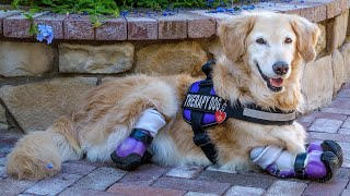 Golden Retriever With Amputated Legs Starts Life Over as Therapy Dog thumbnail