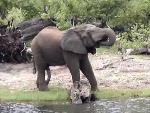 Elephant drinking water along the bank of the Chobe River - Botswana
