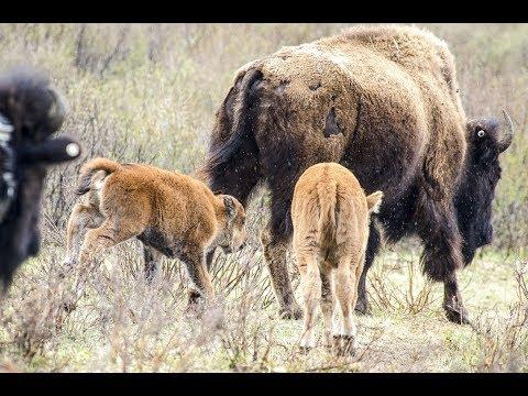 Banff National Park - bison calf historic first steps
