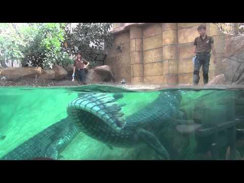 Indian Gharial Feeding Time @ River Safari