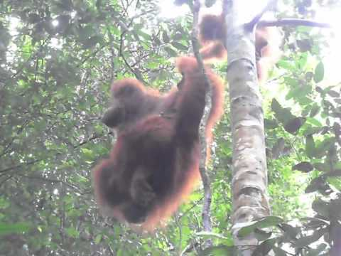 Wild Orang Utans - Sumatra