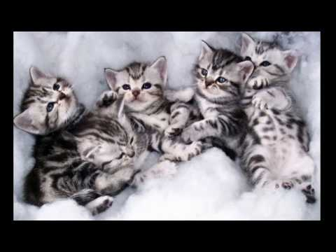 American Shorthair Cat and Kittens | History of the American Shorthair Cat Breed