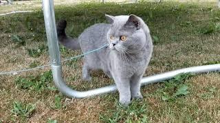 Blue British Shorthair (2 years old)
