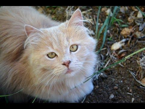Persian Cat Breed   Persian Cat  Videos  