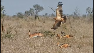 Eagle & 2 Jackals Hunt the Same Buck