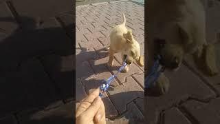 Köpek yavrusu sevelim biraz - american cocker.