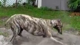 Happiest Greyhound In America - Dirty Dog - Too Cute - Crazy Dog - Greyhound Dog - Rescued Greyhound