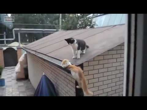 Kucing Lucu - Funny Cats Funny Cat Videos Better Than Funny Pranks Funny Videos 2017