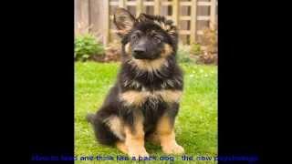 German Shepherd Dog Training Tips Puppy Video