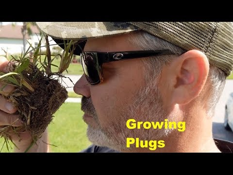 St Augustinegrass Plug Planting | Testing Growth Stimulants