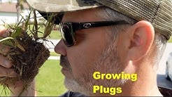 St Augustinegrass Plug Planting   Testing Growth Stimulants