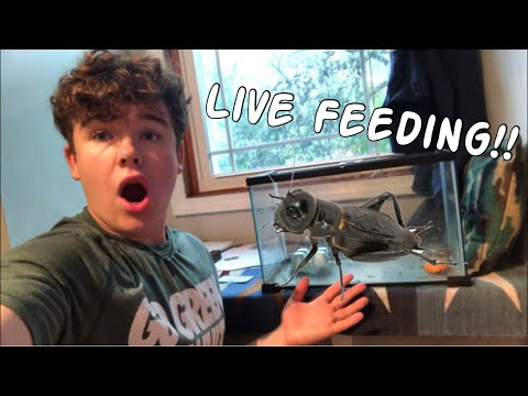African Butterfly Fish Live Feeding!!