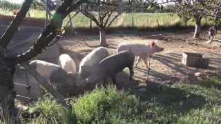 Les cochons à la ferme de sautelievre en Ardèche