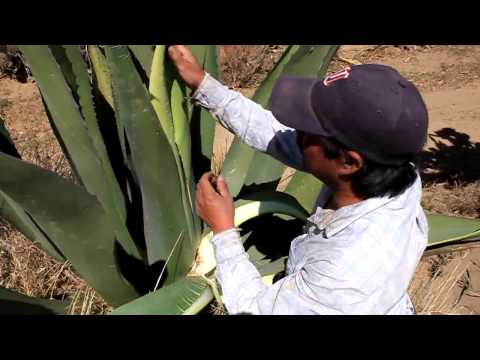 EL AGAVE O MAGUEY | FunnyCat.TV