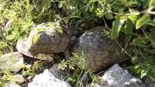 Sex turtles, секс животного мира, порно черепашек, наблюдения за животными