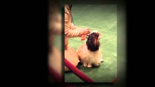 English Toy Spaniel Temperament