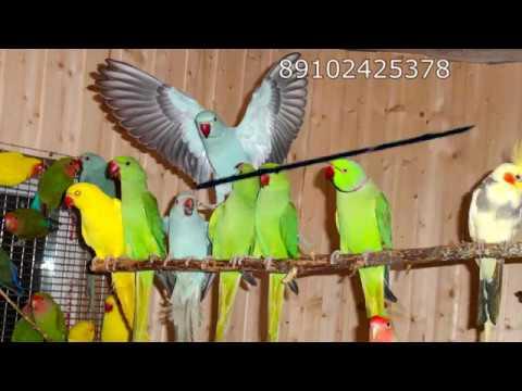 Ожереловые попугаи выкормыши