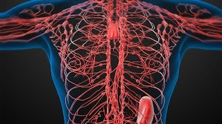 Human Physiology - Lymphatic System: How it Works