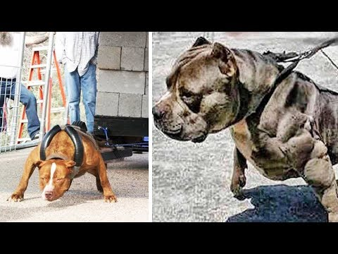 THE STRONGEST DOG BREEDS In The World