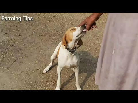 Pointer Dog farm|| Racer dog farm||Dog farming in Pakistan||ground dog