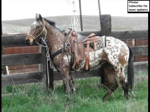 appaloosa horse horse set of picture collection of horses youtube