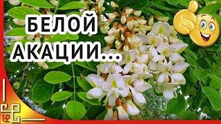 Белой акации гроздья душистые   Старинный русский романс