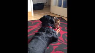 So there dog! Bengal cat shows Rottweiler who's boss!