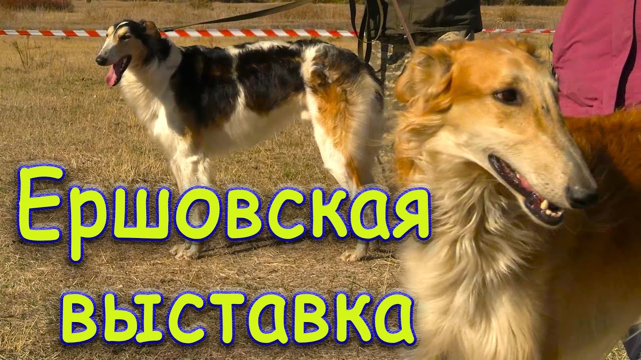 Ершовская районная выставка собак борзых пород 09 10 2020г